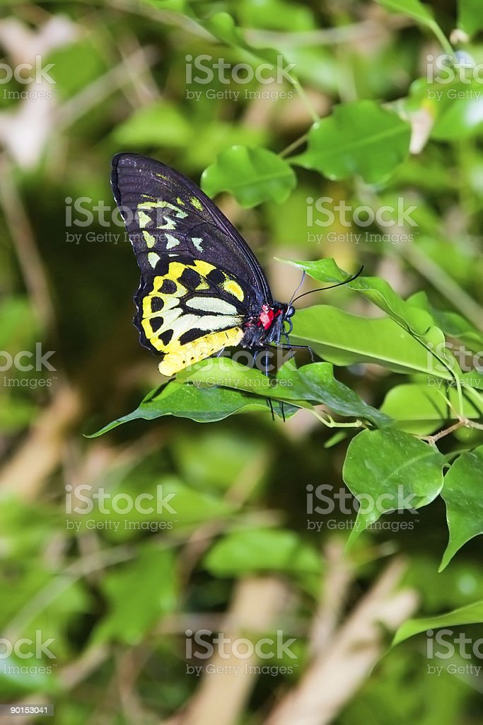 Richmond Birdwing Butterfly stock photo