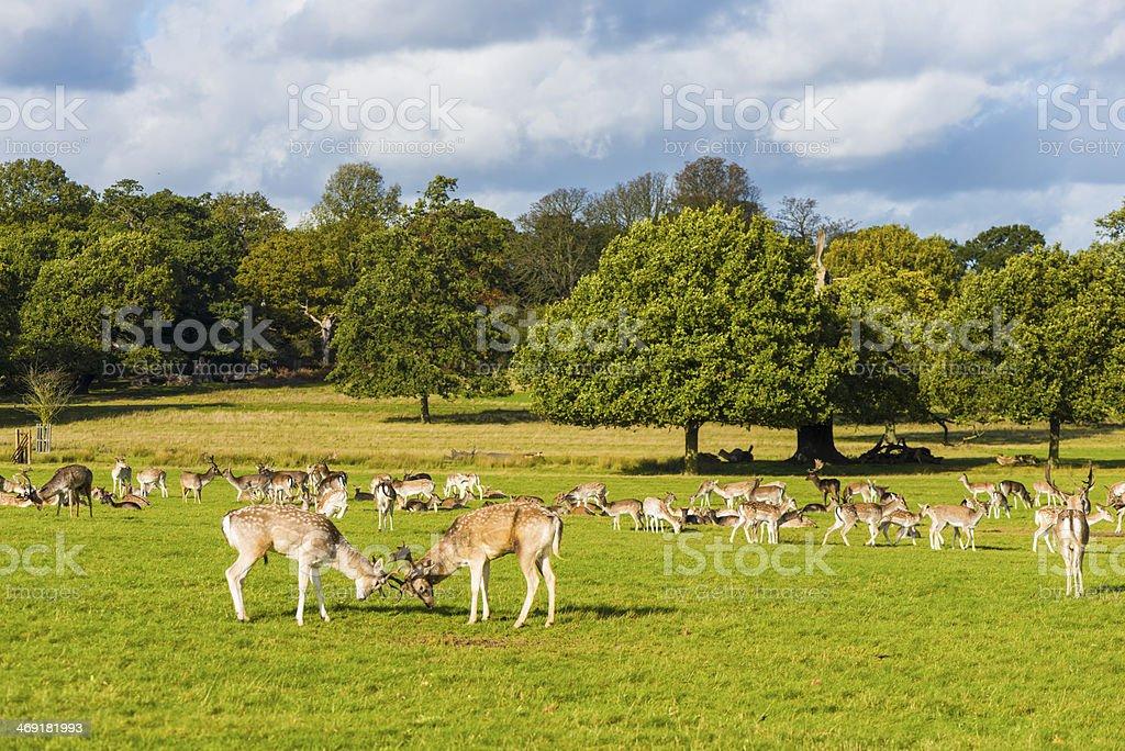 Richmond park London royalty-free stock photo