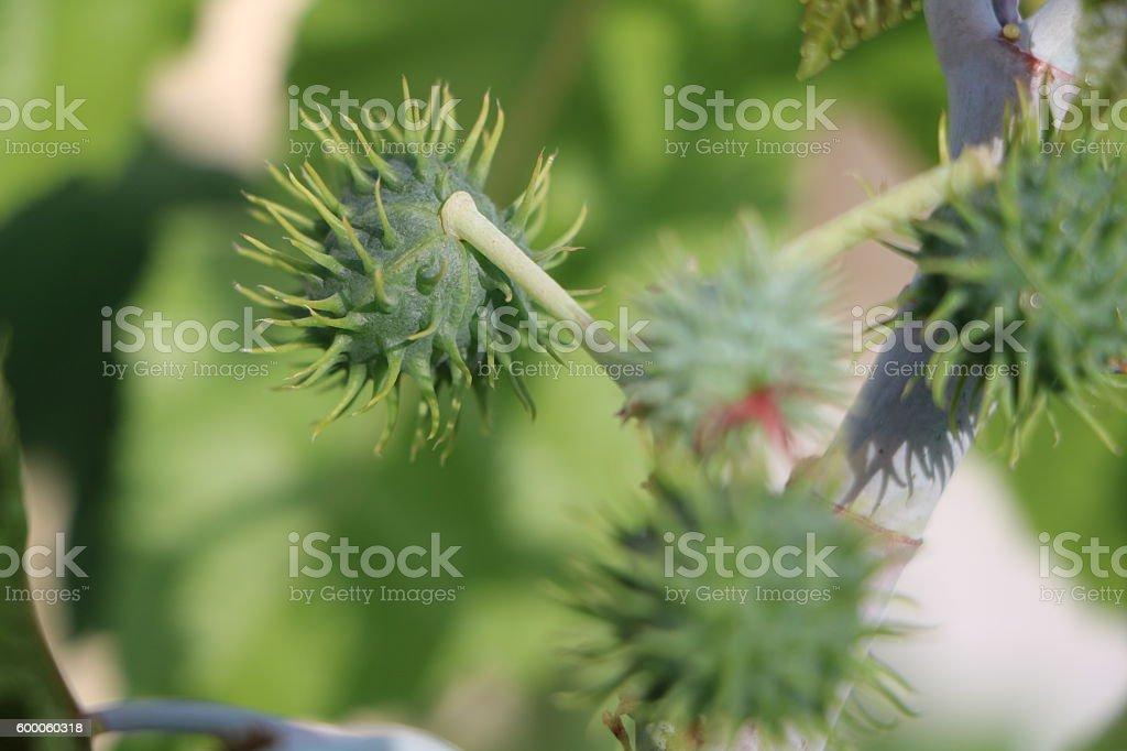 Ricinus communis Oriental grasses stock photo