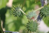 Ricinus communis Oriental grasses