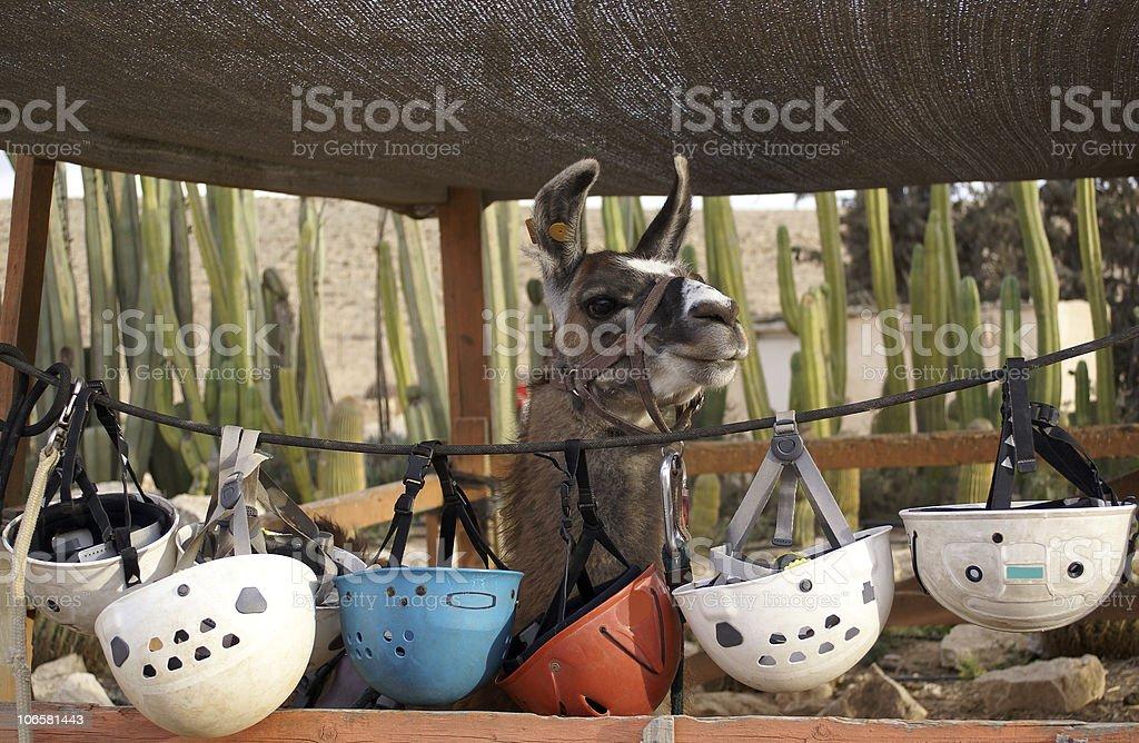 Rideable llama stock photo