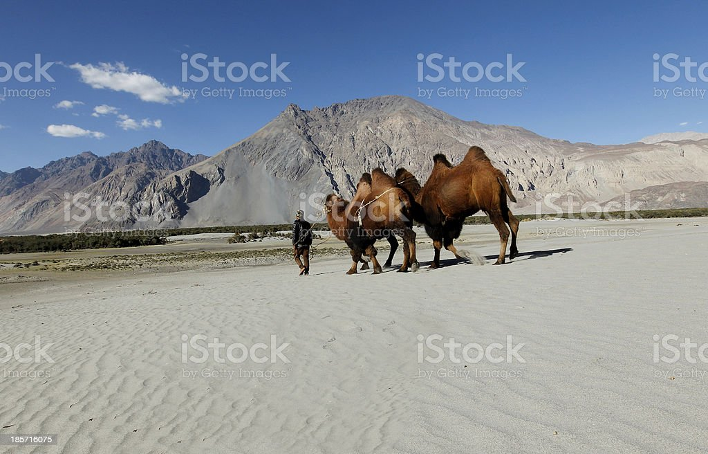 Rider with bactrian camels in sand dunes royalty-free stock photo