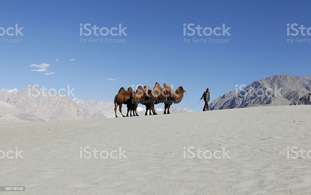 Rider with bactrian camels stock photo