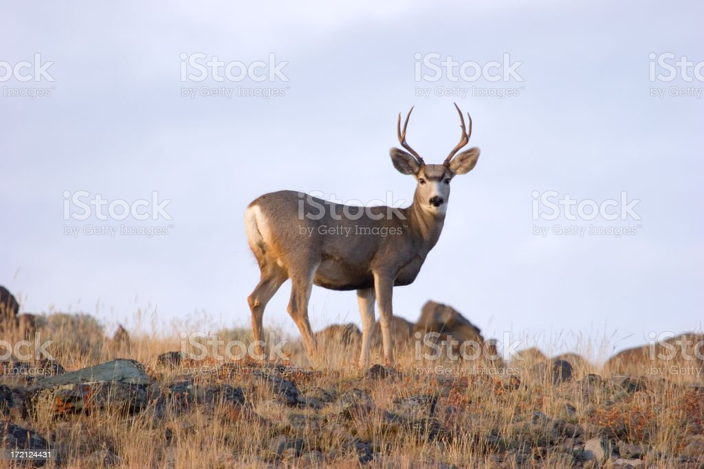 Ridge Top Buck stock photo
