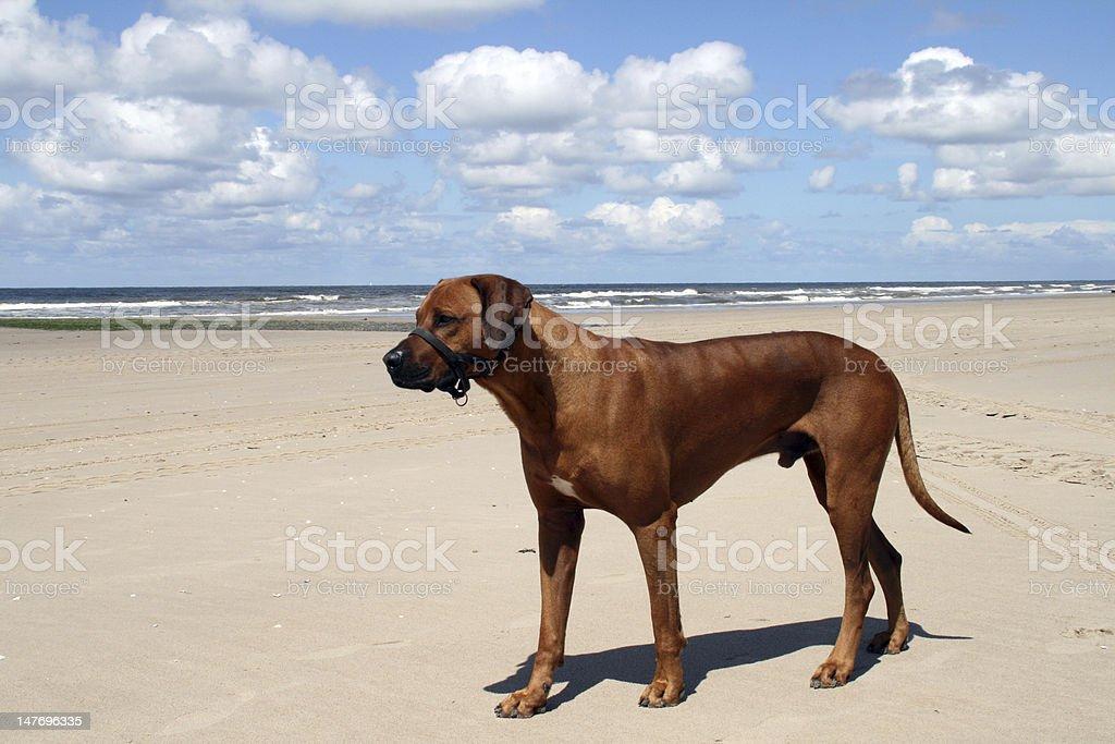 Ridgeback at the beach stock photo