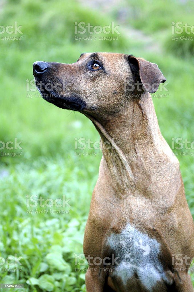 Ridgeback dog royalty-free stock photo