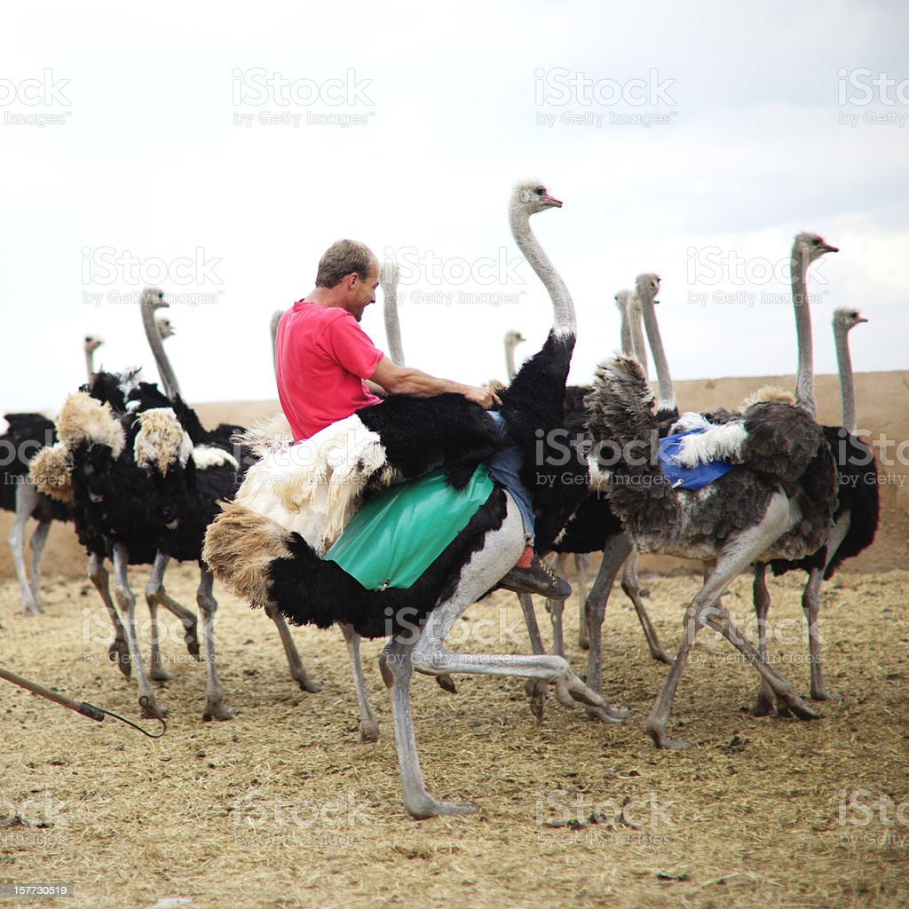 Riding a Ostrich stock photo