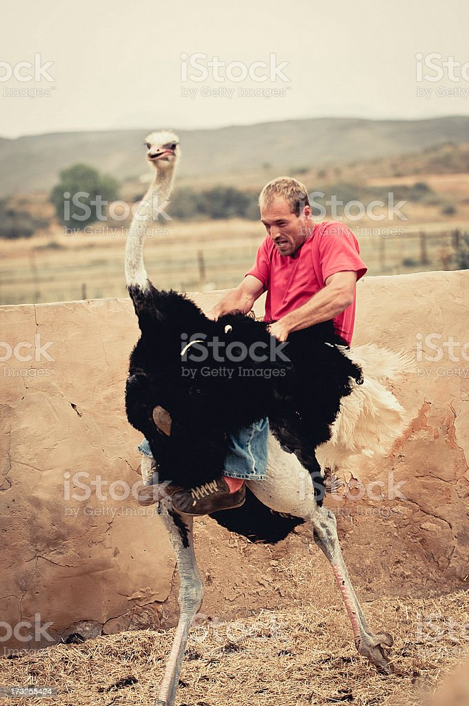 Riding an ostrich stock photo