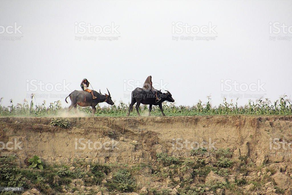 riding bulls at Irrawaddi river royalty-free stock photo