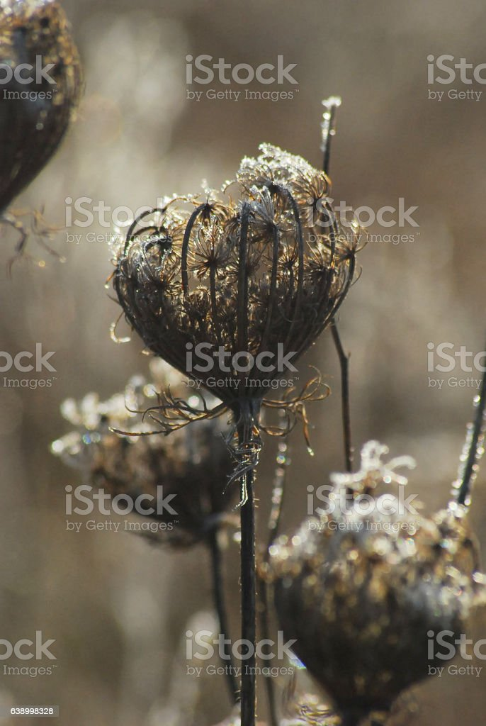 Вried flower head stock photo