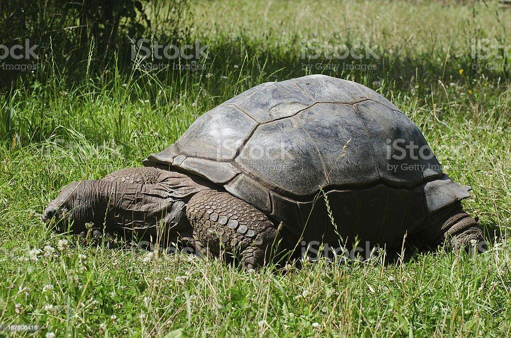 Riesenschildkröte stock photo