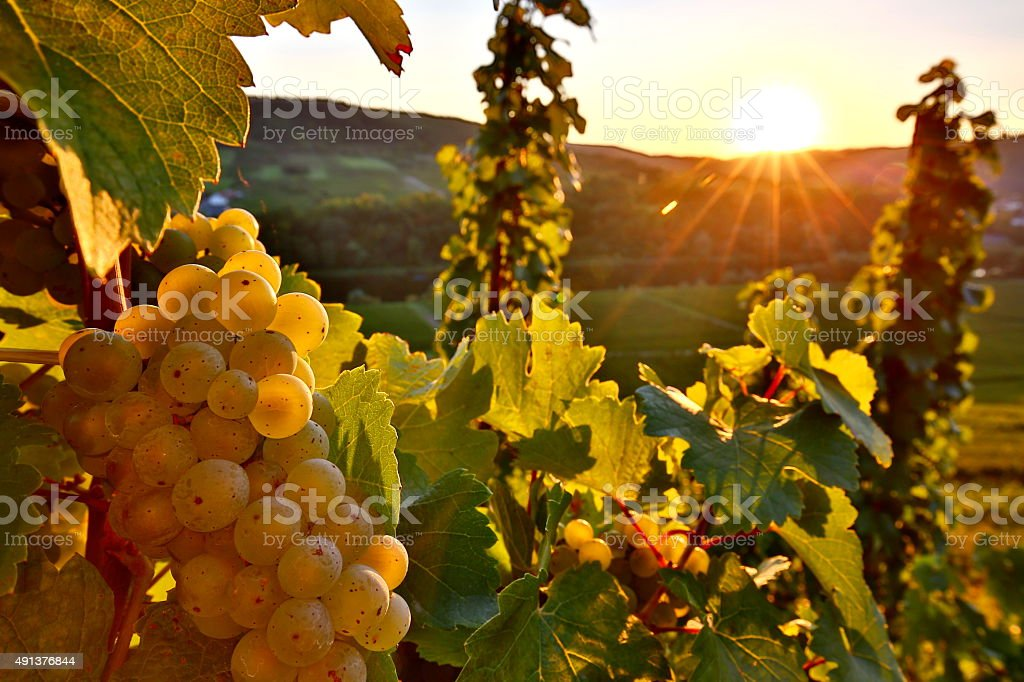 Riesling grape at sunset stock photo