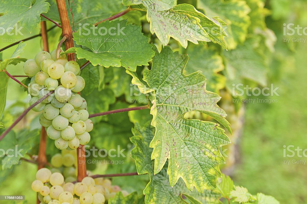 Riesling Grapes royalty-free stock photo