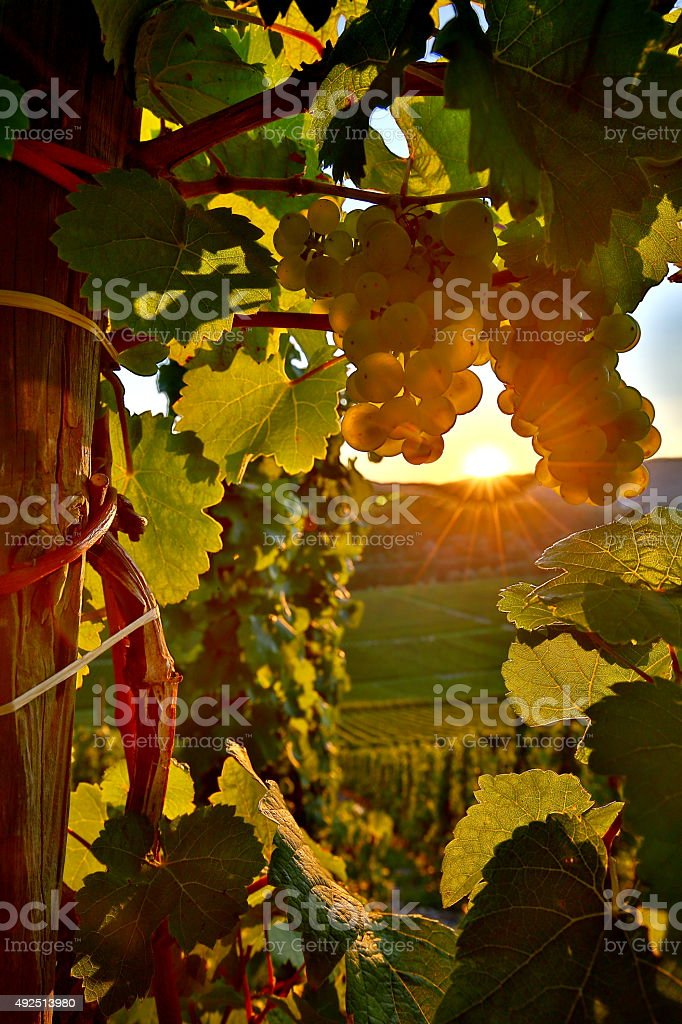 Riesling Rebstock stock photo
