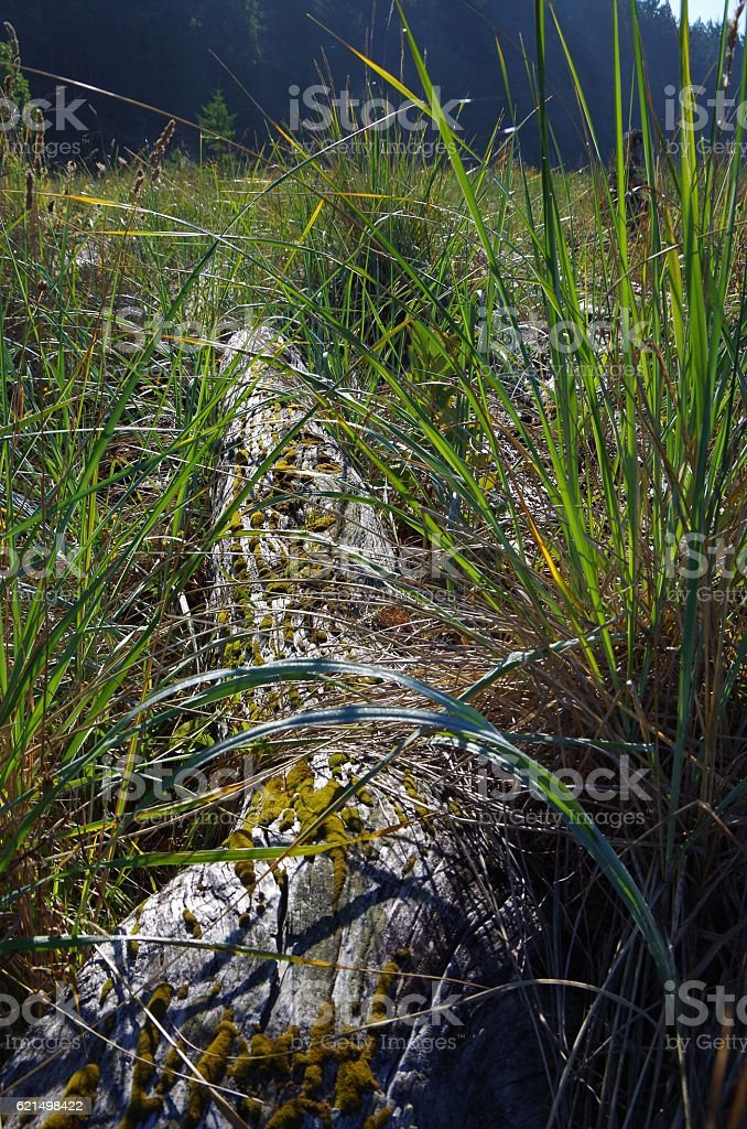 riftwood and sea grass backlit by the early morning sun stock photo