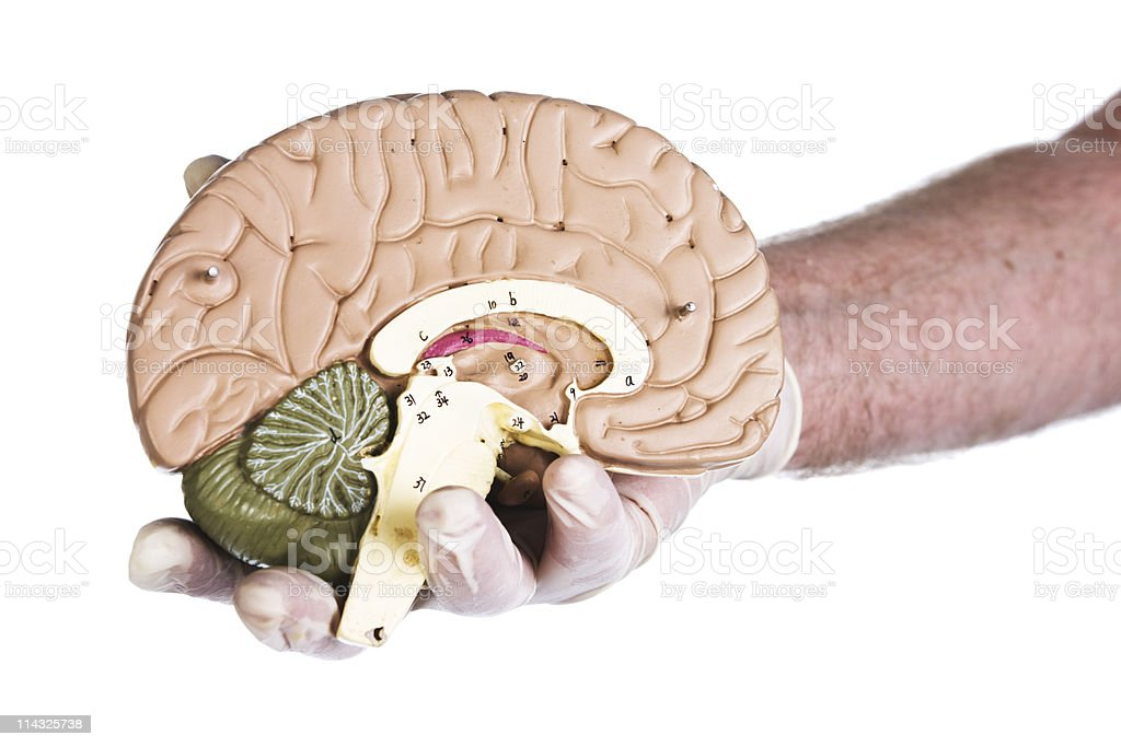 Right hemisphere brain model held in gloved hand royalty-free stock photo