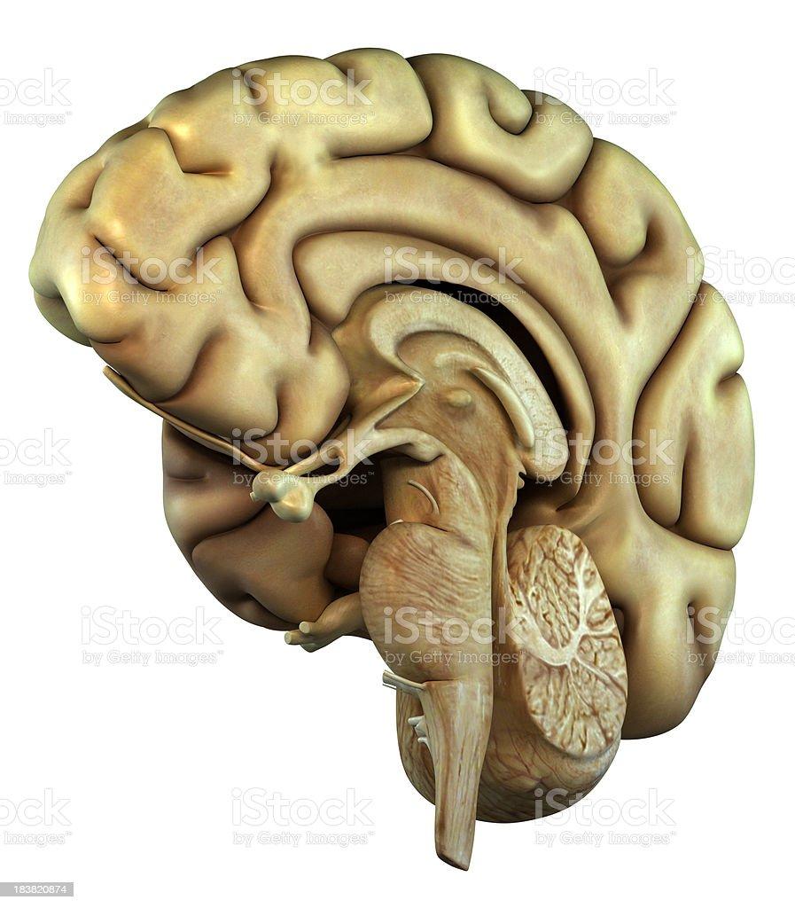 Right hemisphere of the human brain stock photo