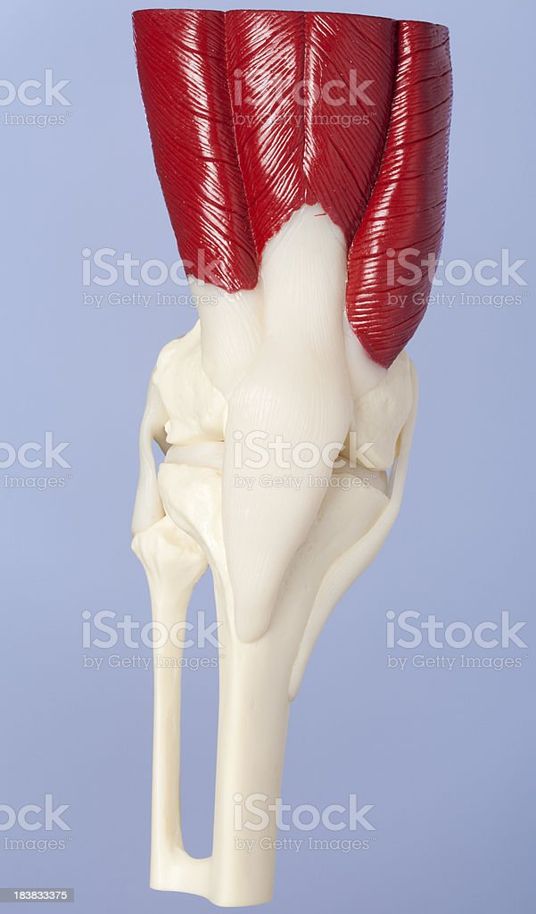 Right human knee stock photo