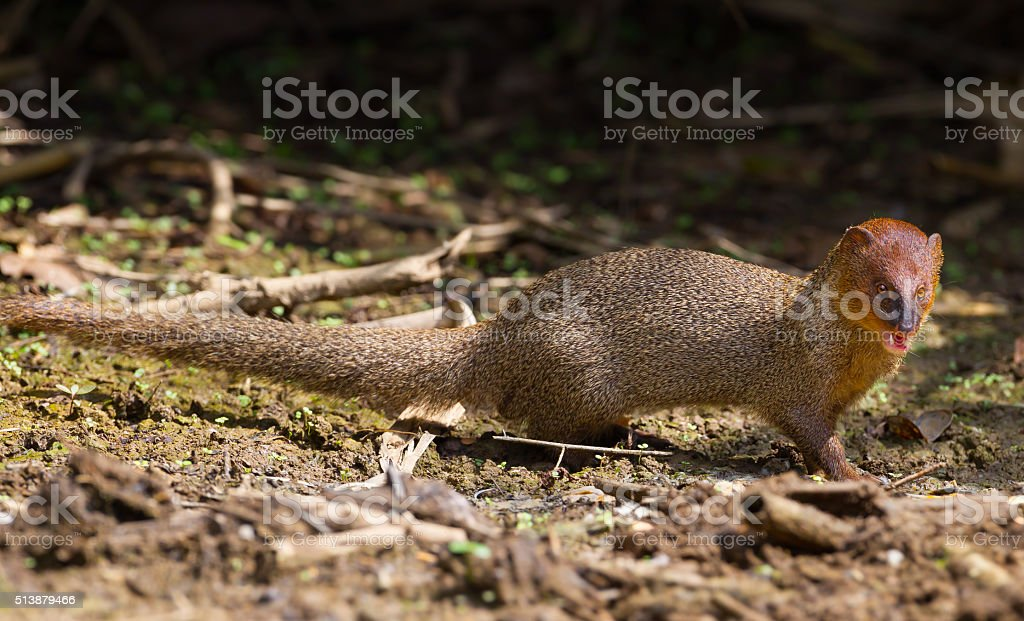 Right side of Javan Mongoose stock photo