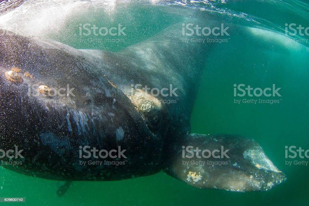 Right whale stock photo
