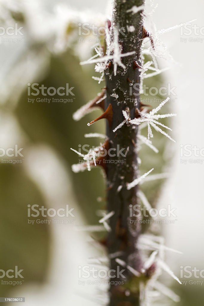 rime on rose thorn stock photo