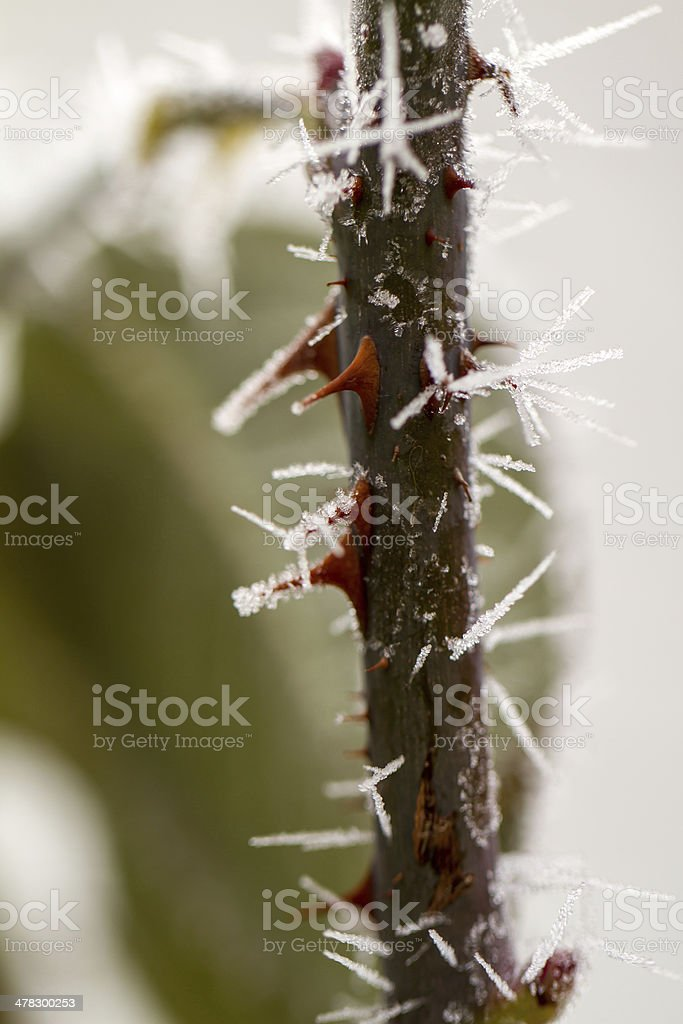 rime on rose thorn royalty-free stock photo