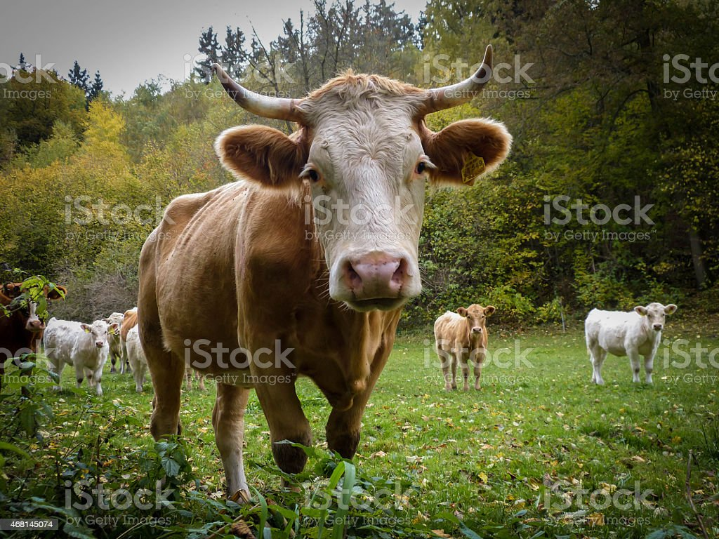 Rind auf der Weide stock photo