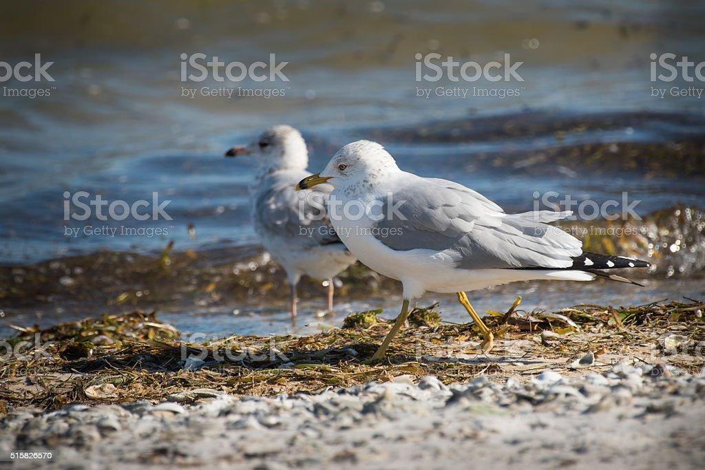 Ring Billed Gull - (Larus delawarensis) stock photo