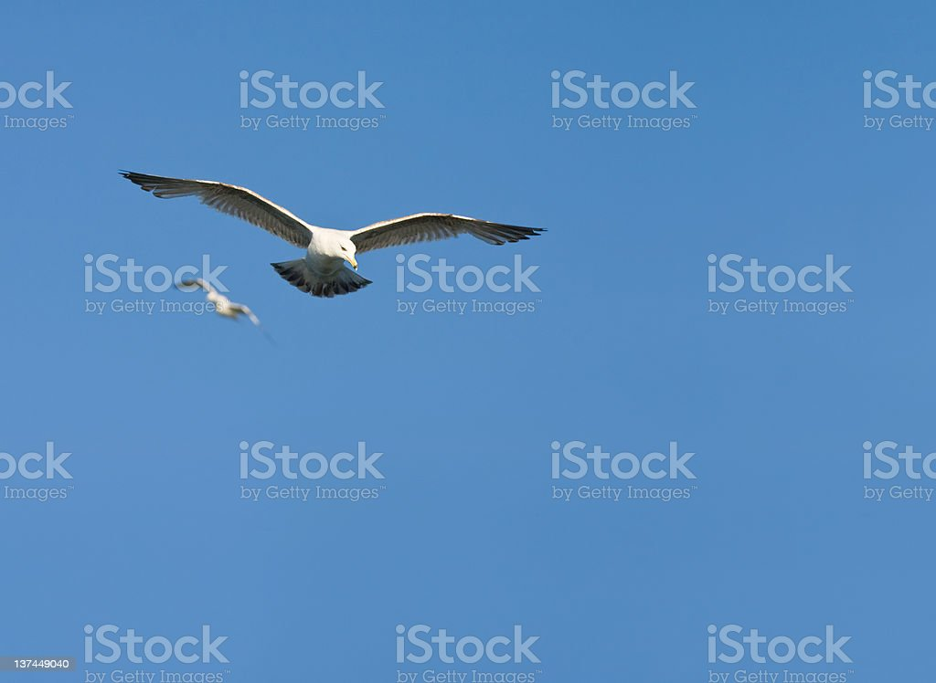 Ring billed seagull searching for prey stock photo