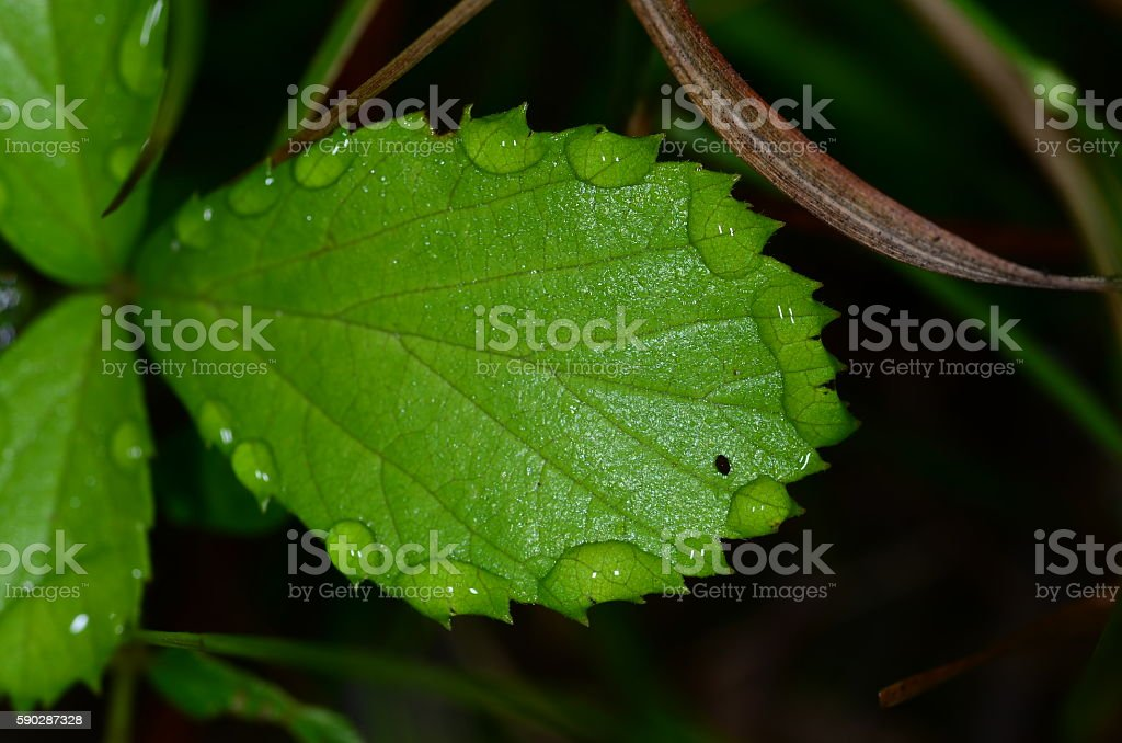 Ring of water drops along spiny, oblong leaf edge stock photo