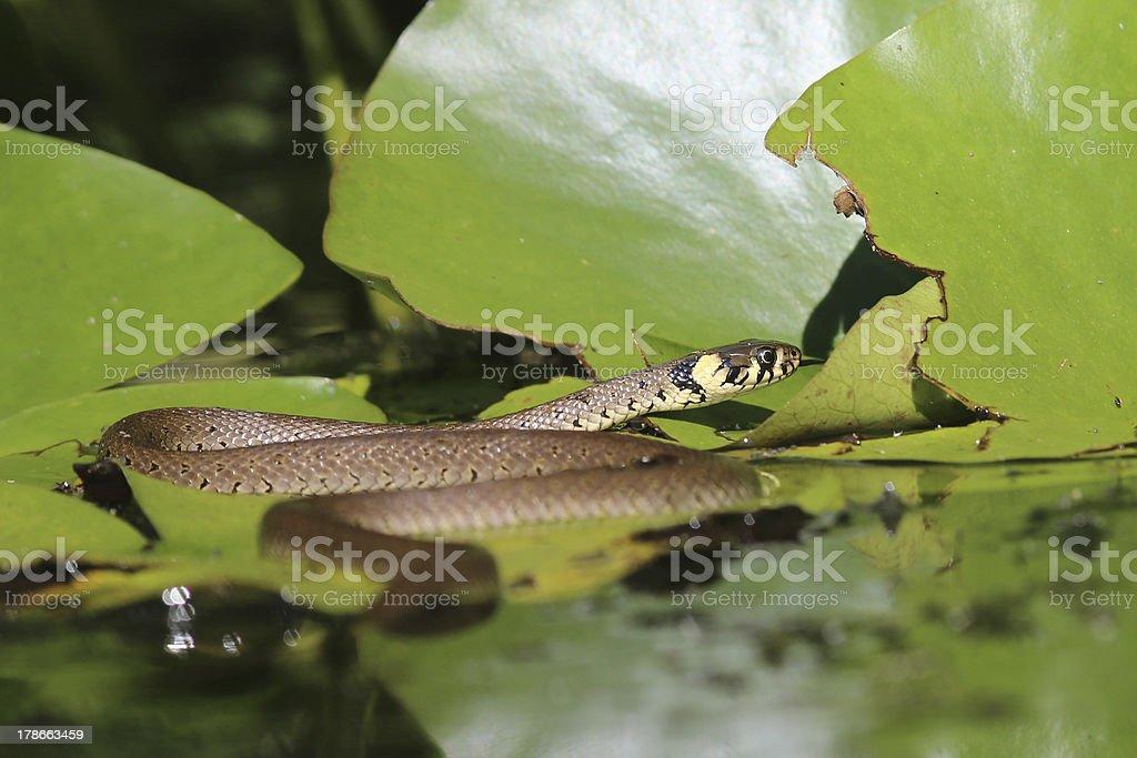 ring snake stock photo
