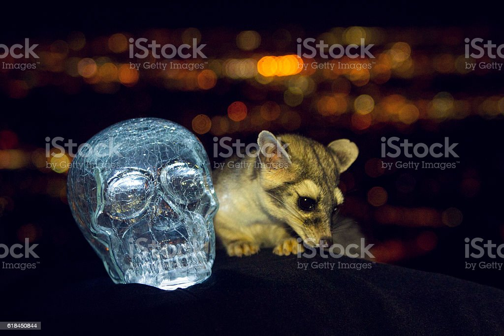 Ring Tail and the Crystal Skull stock photo