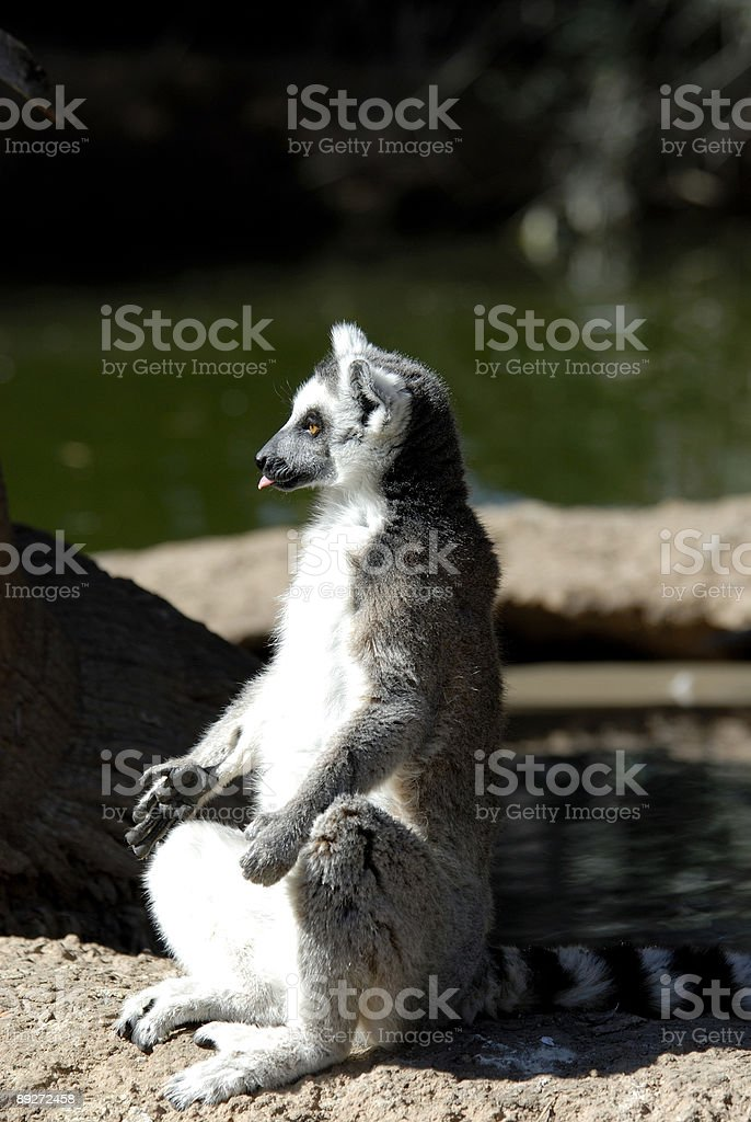 Ring Tail Lemur stock photo