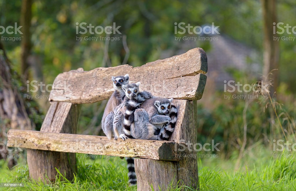 Ring tail lemurs on a bench stock photo
