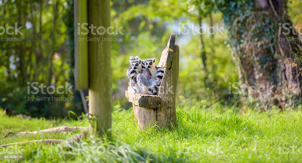 Ring tail lemurs sit together on a hand made seat stock photo