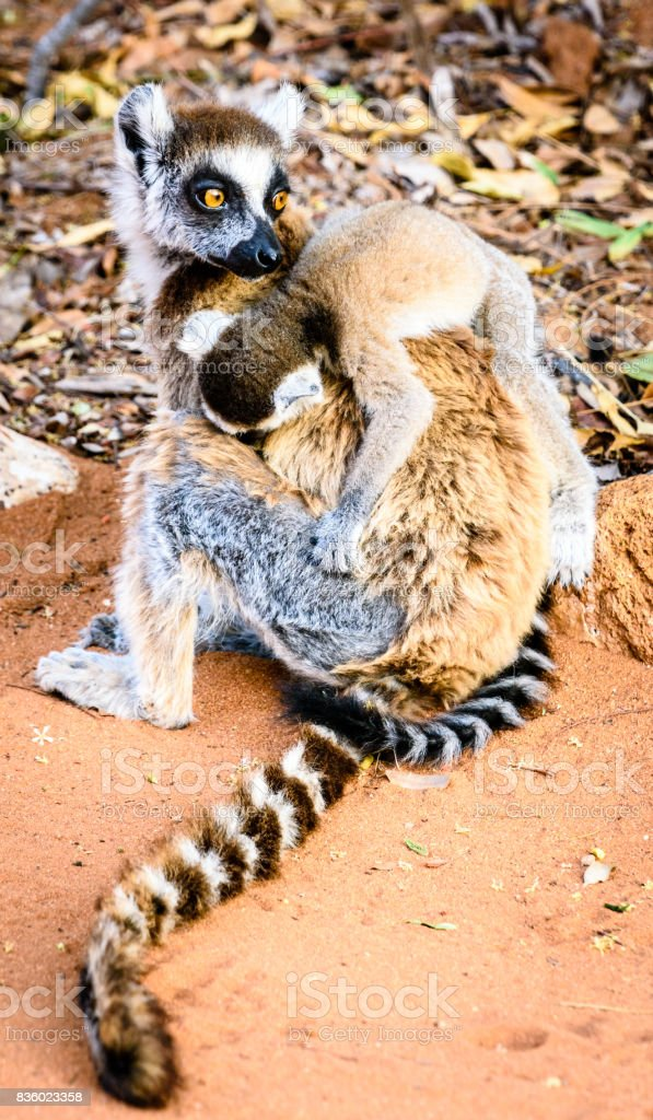 Ring tailed lemur carrying tired baby stock photo