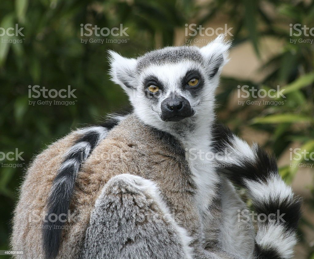 Ring Tailed Lemur in sitting position stock photo