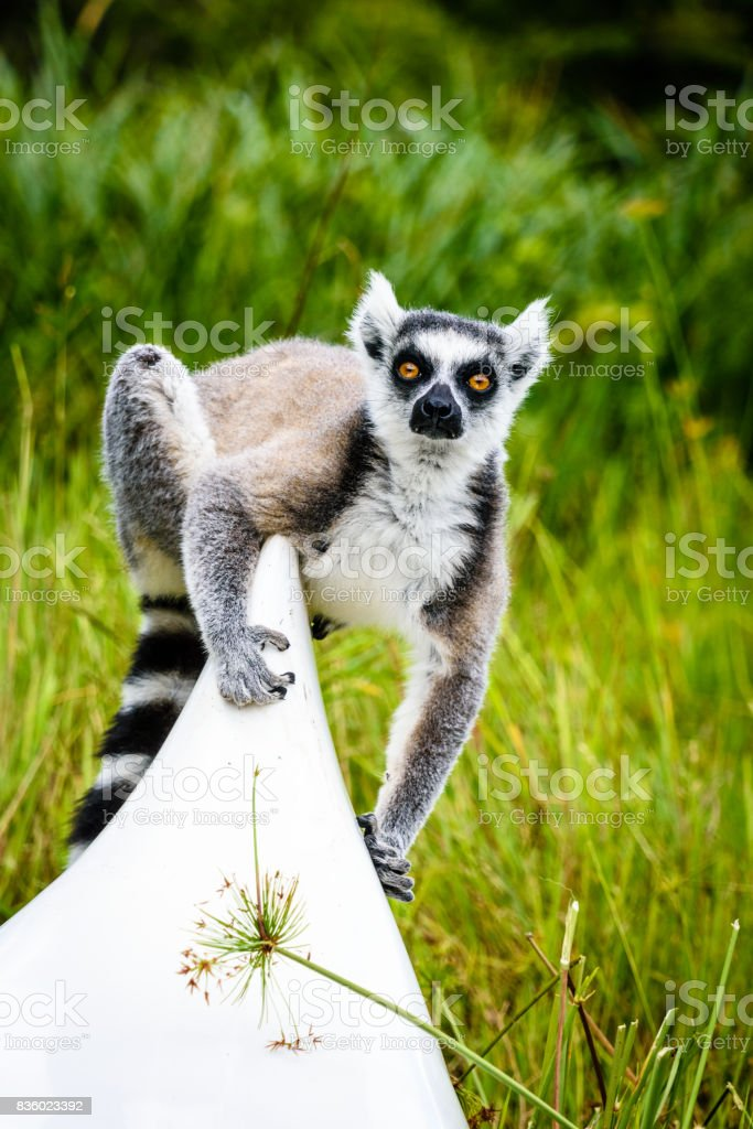 Ring tailed lemur on kayak in Madagascar with green grass in the background stock photo