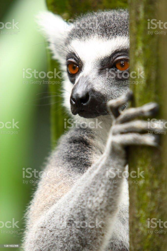 Ring Tailed Lemur royalty-free stock photo