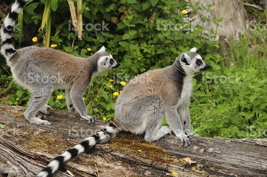 Ring tailed Lemur. royalty-free stock photo
