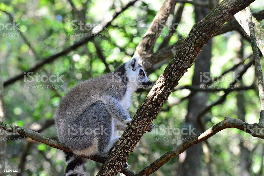 RIng tailed Lemur stock photo