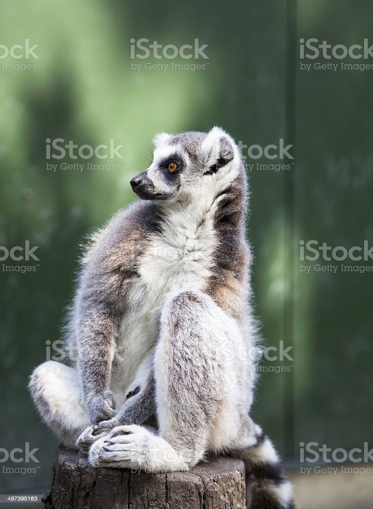Ring tailed lemur sitting on a green background stock photo