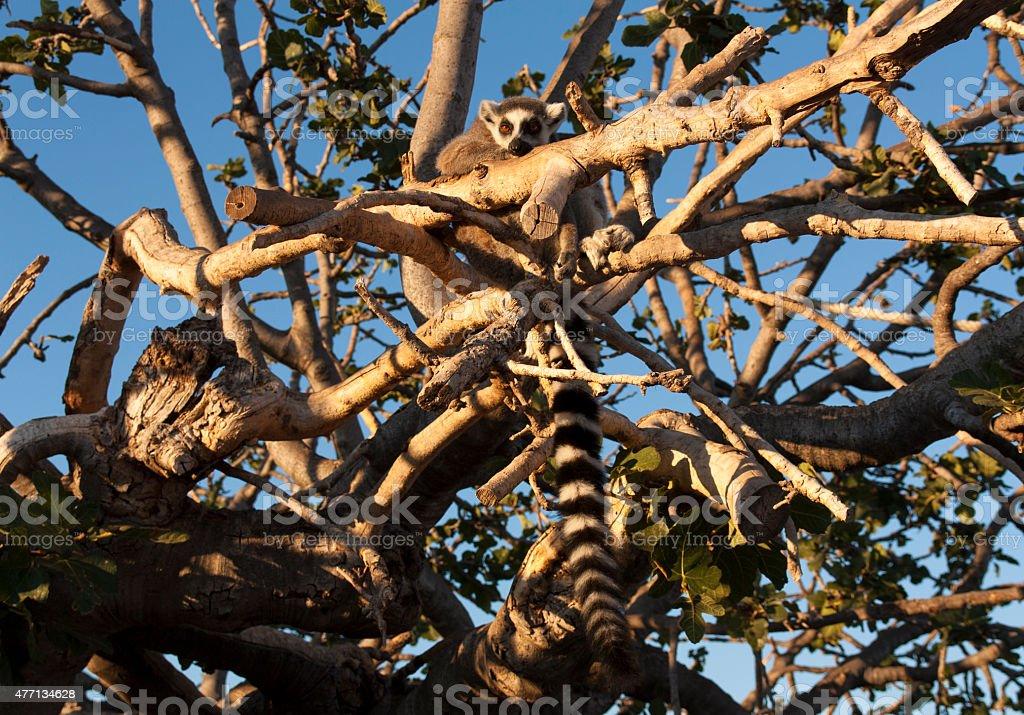 Ring tailed lemur sitting on the tree photo stock photo