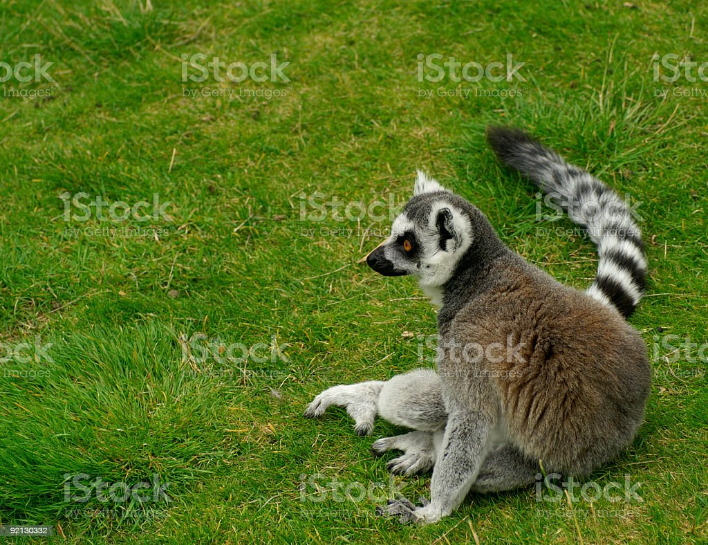 Ring Tailed Lemur sitting royalty-free stock photo