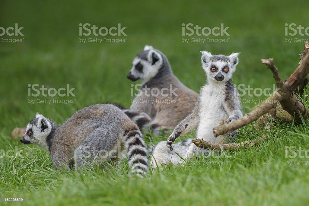 Ring Tailed Lemurs royalty-free stock photo