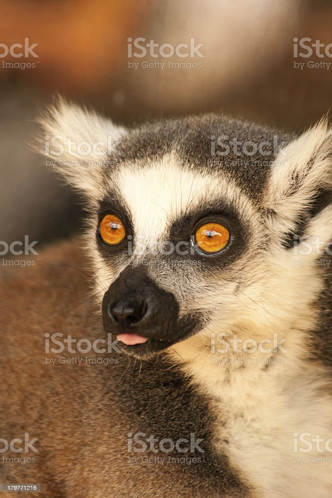 Ring tailed lemurs prosimians in the sun royalty-free stock photo