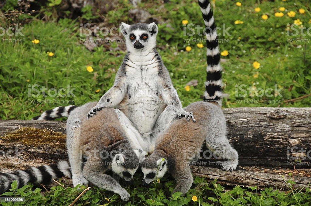 Ring tailed Lemurs, U.K. royalty-free stock photo