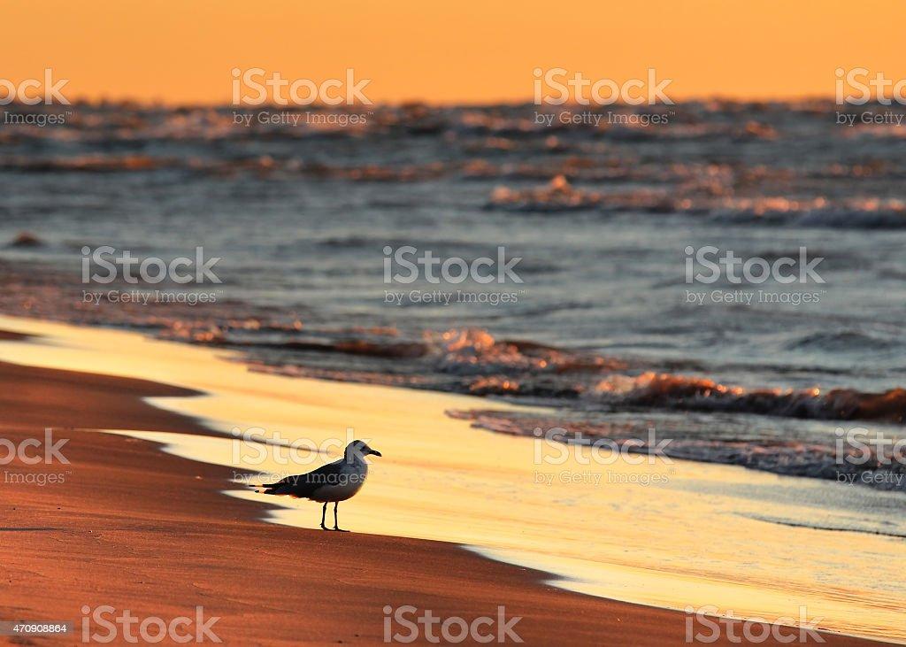 Ring-billed Gull on Lake Huron beach at sunset stock photo