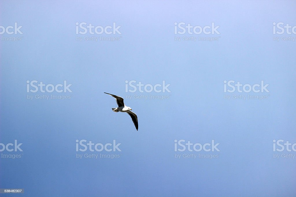 Ring-billed Seagull in Flight Against Blue Sky stock photo