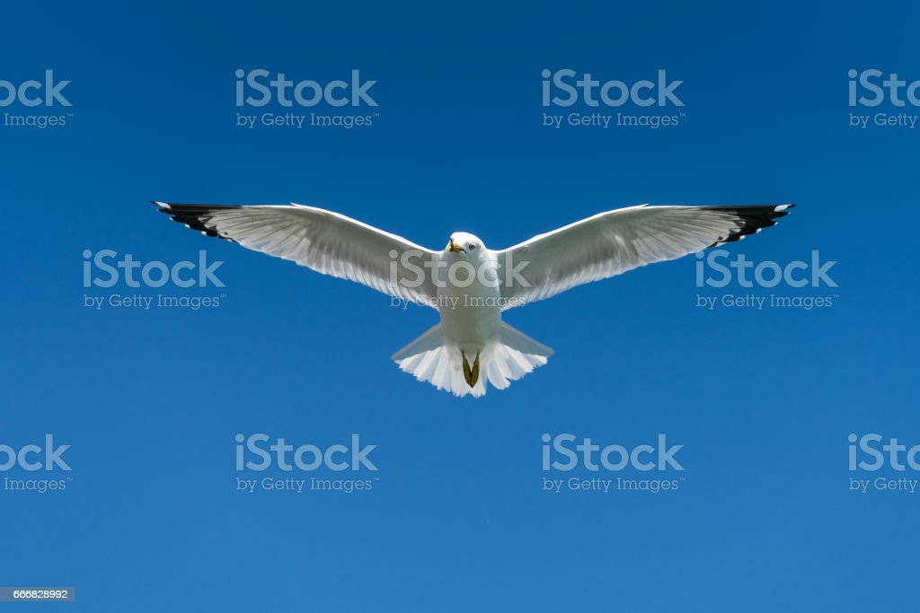 Ring-billed seagull on a sunny day at the Toronto Harbourfront, Lake Ontario. stock photo